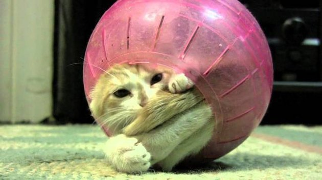 Cat stuck in a hamster ball