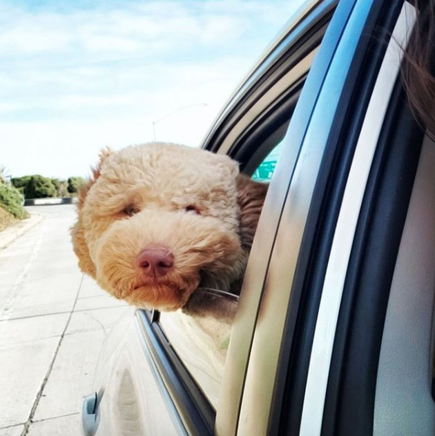 poodle looking out a car window
