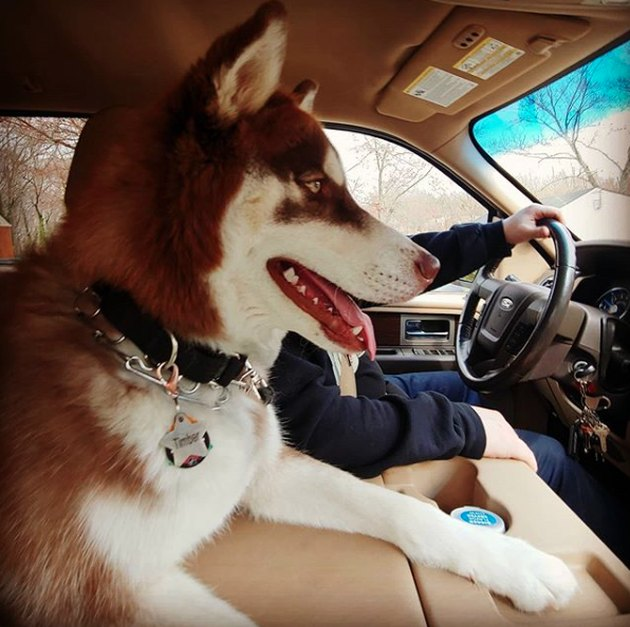 husky sitting in the middle of the car