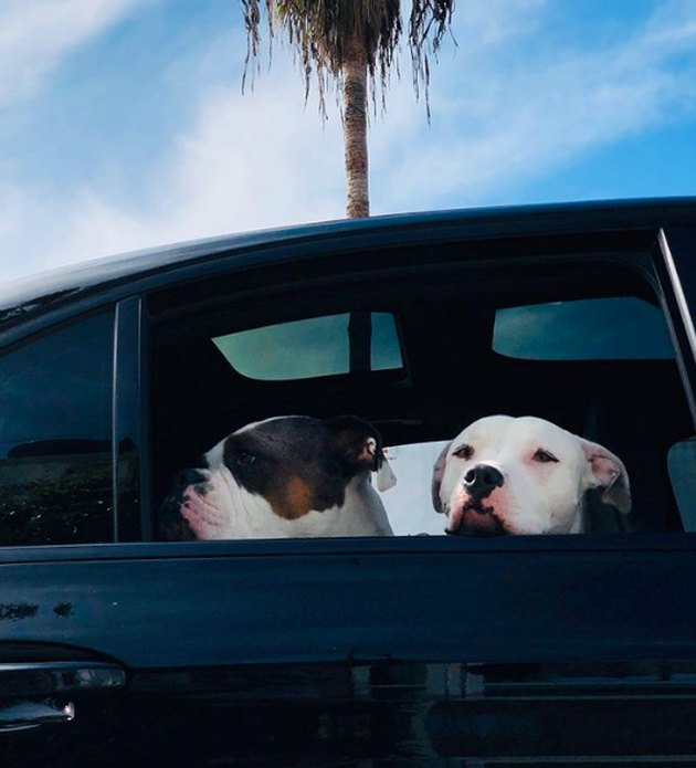 two dogs looking out a car window
