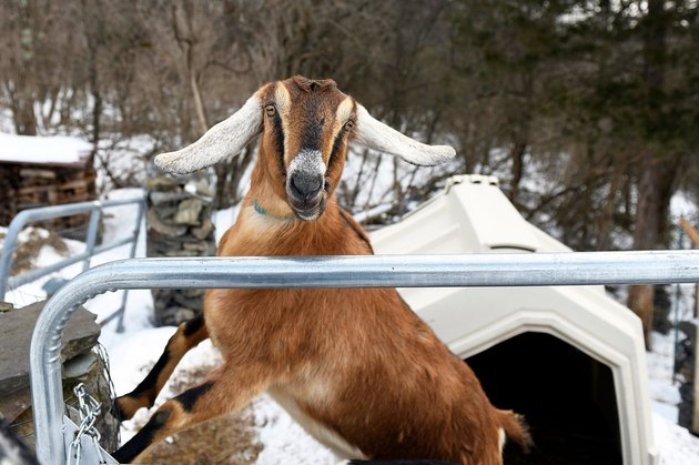 Lincoln the mayor goat outside in the snow