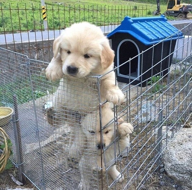 Golden retriever puppies attempting to escape mesh enclosure.