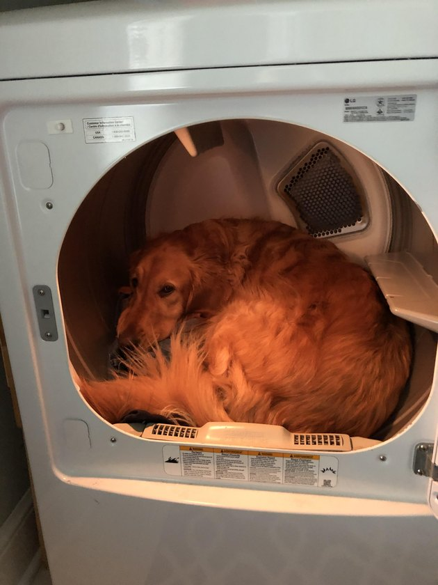 Golden retriever curled up in a clothes dryer.