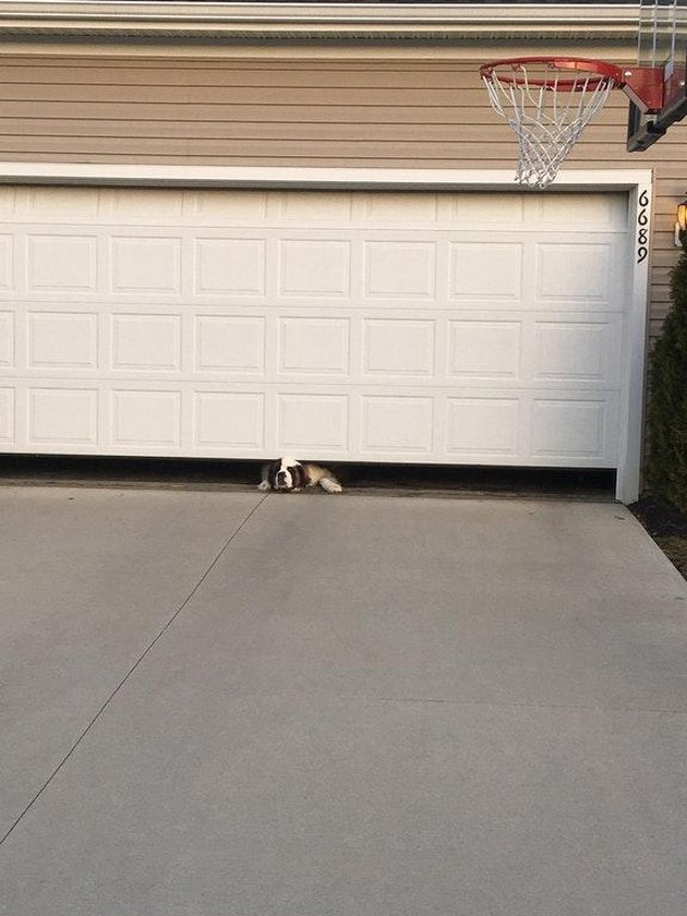 Dog trying to squeeze out from under garage door.