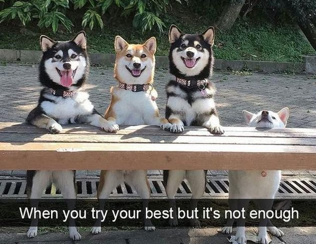Three dogs posing on a bench with a fourth on the ground. Caption: When you try your best but it's not enough