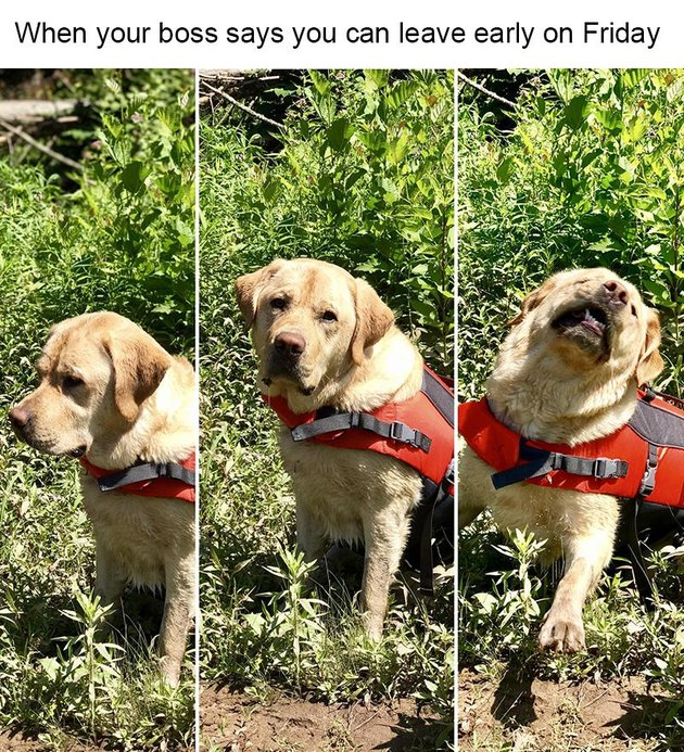 Excited service dog. Caption: When your boss says you can leave early on Friday