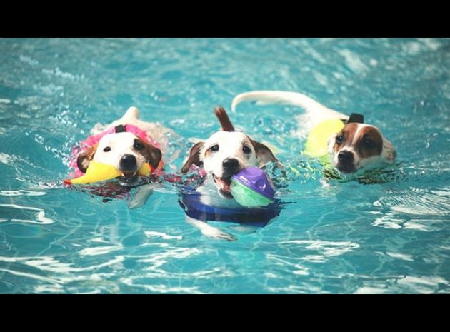 three dogs swimming with balls and toys