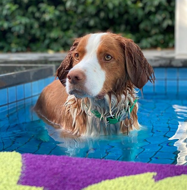 brittany spaniel cooling off in pool