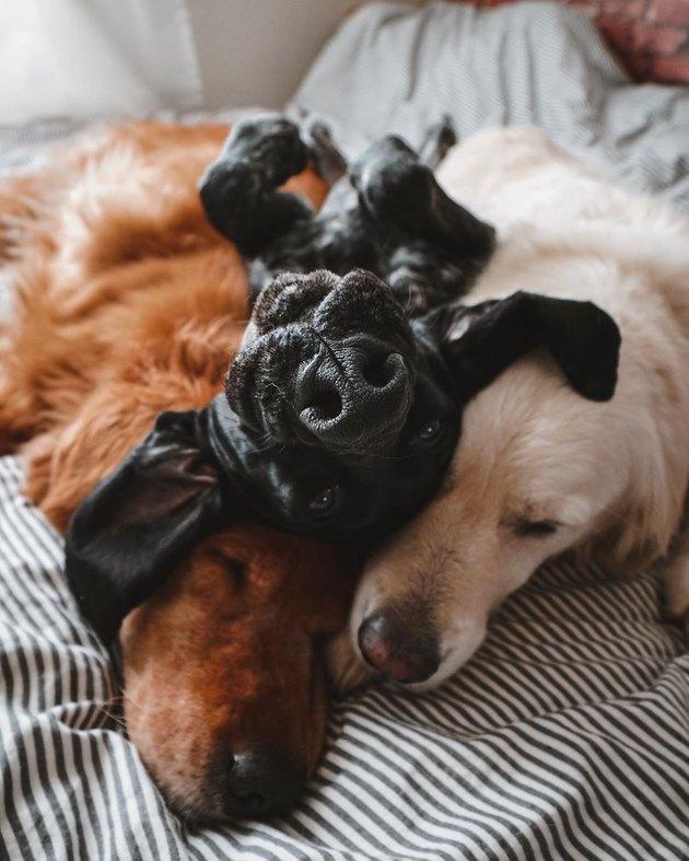 Three dogs cuddling