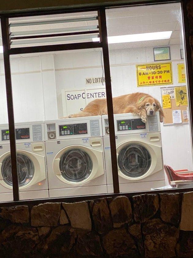 Dog lying on washing machines in laundromat