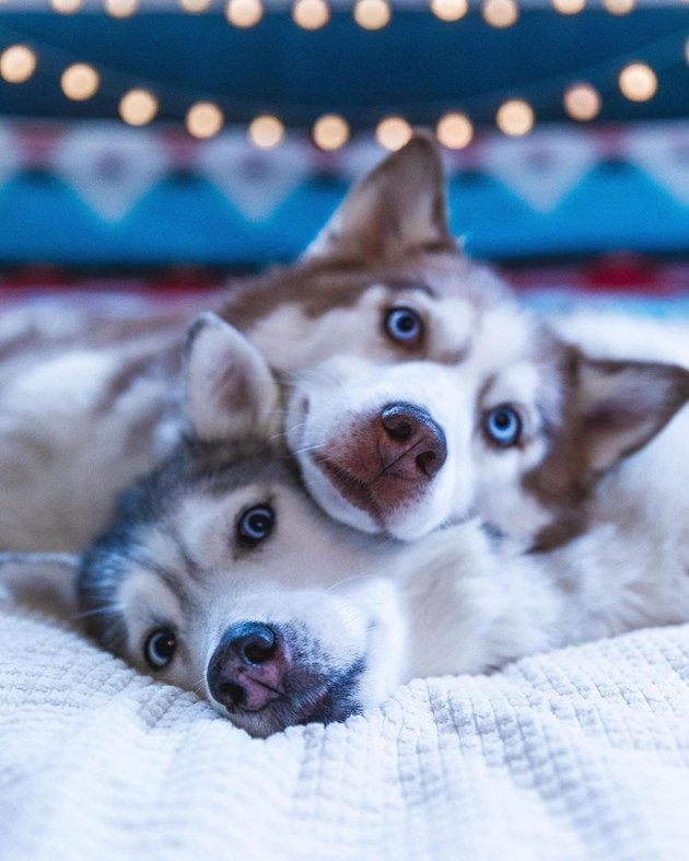 Two huskies cuddling