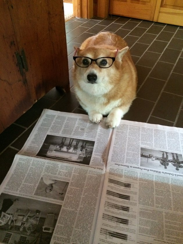 Dog wearing glasses and reading newspaper.