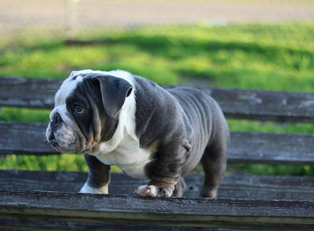 18 chubby bulldog puppies