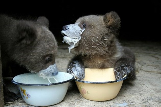 Baby bears eating and making a mess!