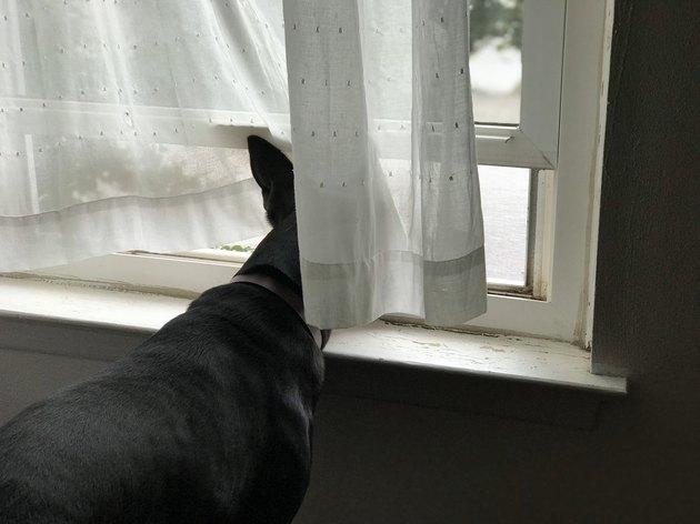 dog pokes head through curtain