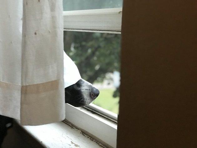curtain defeats dog