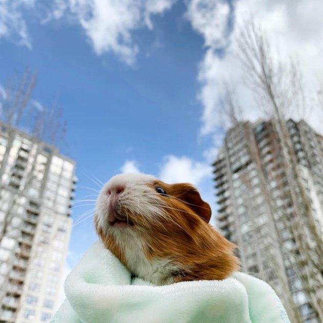 180 names for guinea pigs