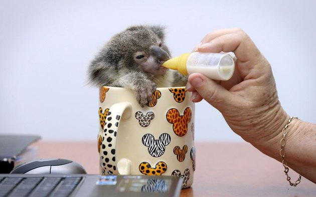 Baby koala in a coffee cup