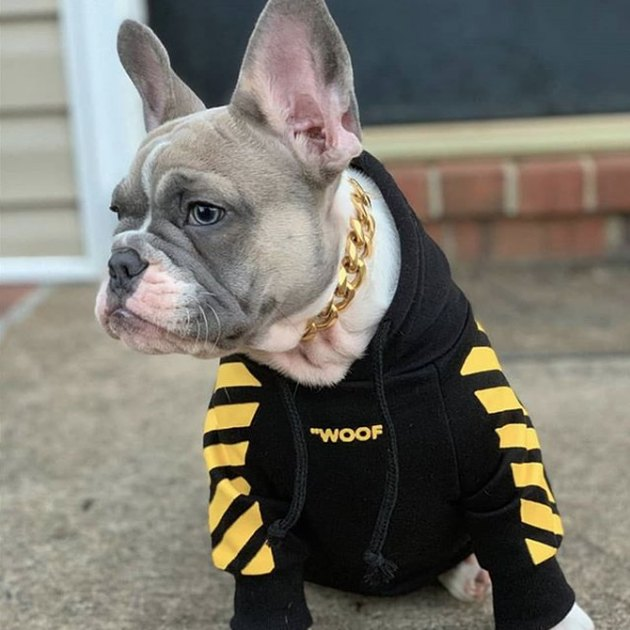 dog with gold necklace and black sweatshirt