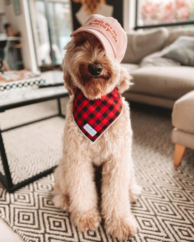 dog in checkered scarf and baseball cap