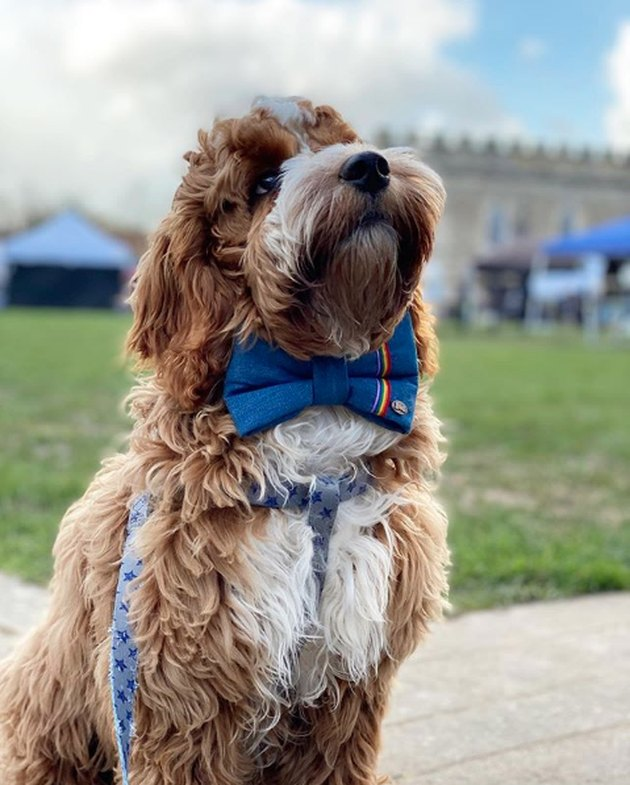 dog with blue bow tie