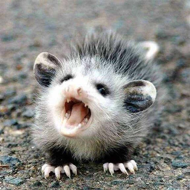 Baby opossum screaming