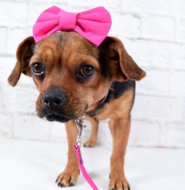 dog with pink headband