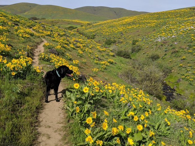 Dog on a trail through a field of flowers