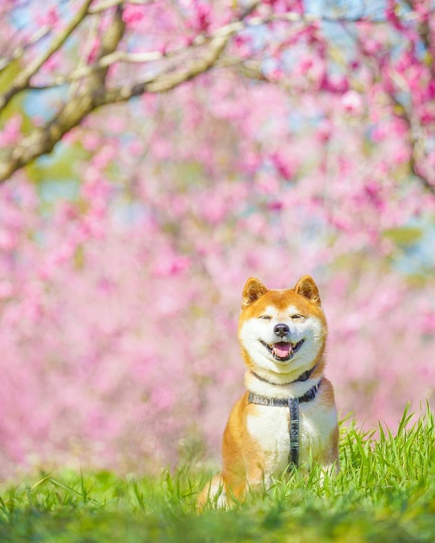 Shiba Inu in a field with cherry blossoms.