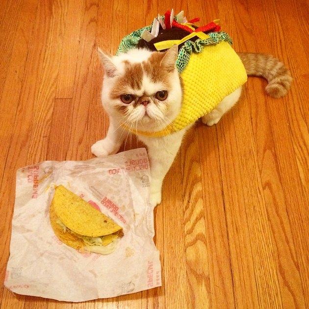 Cat dressed up like taco