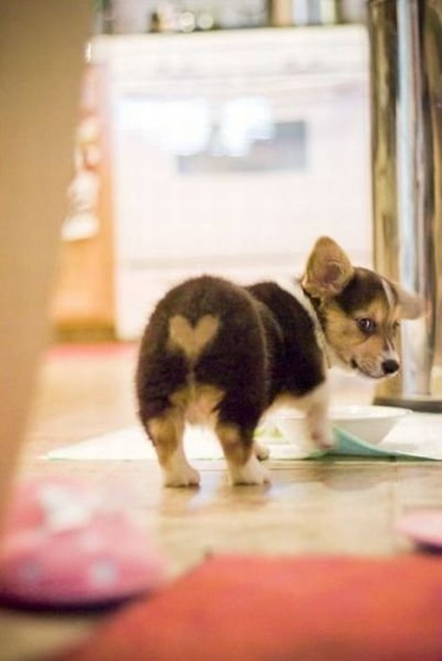 Corgi pup with a heart on his butt