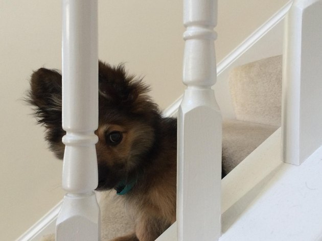 Puppy on staircase, hiding behind baluster.