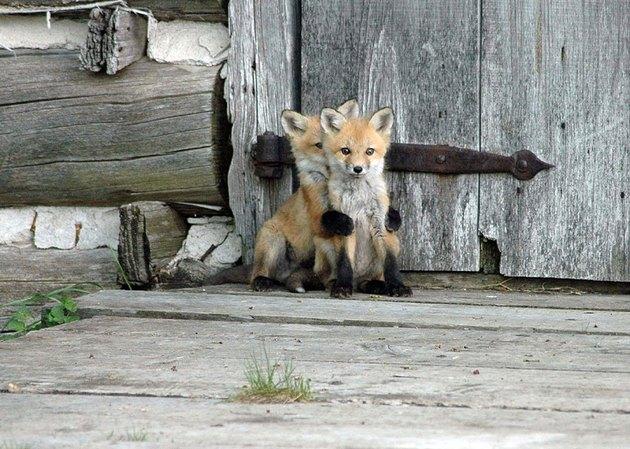Fox kit hiding behind other fox kit.