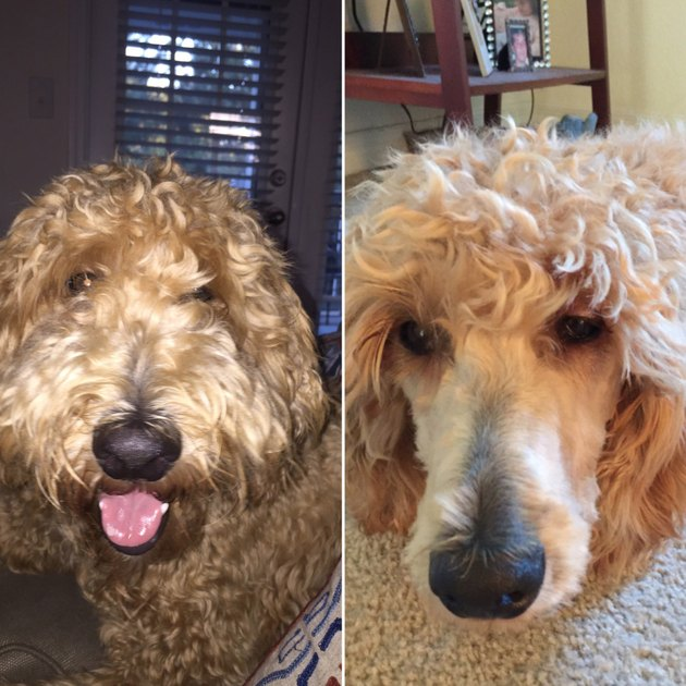 20 dog grooming fails that will make you LOLCRY