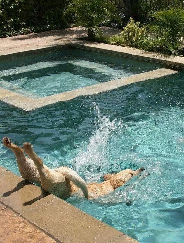 Dog belly flopping into a swimming pool.