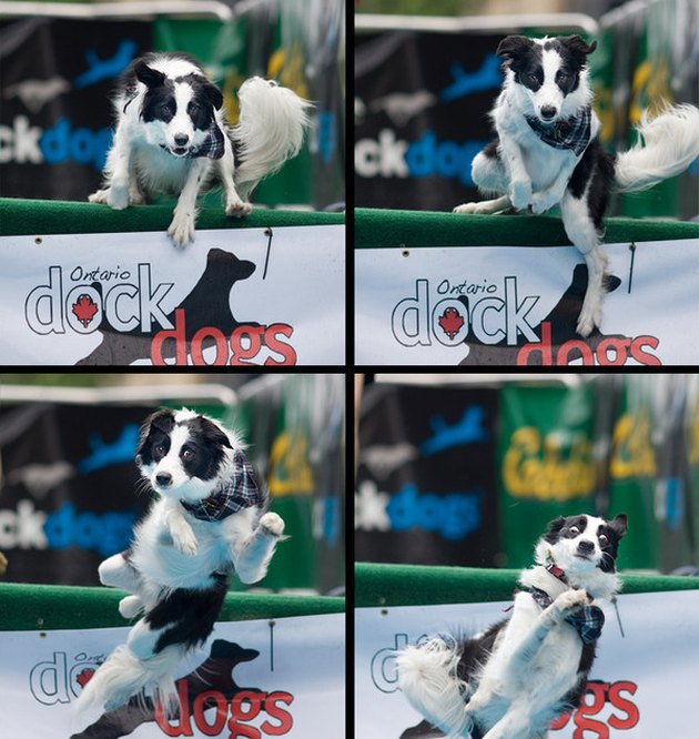 Dog jumping over a hurdle and then falling.