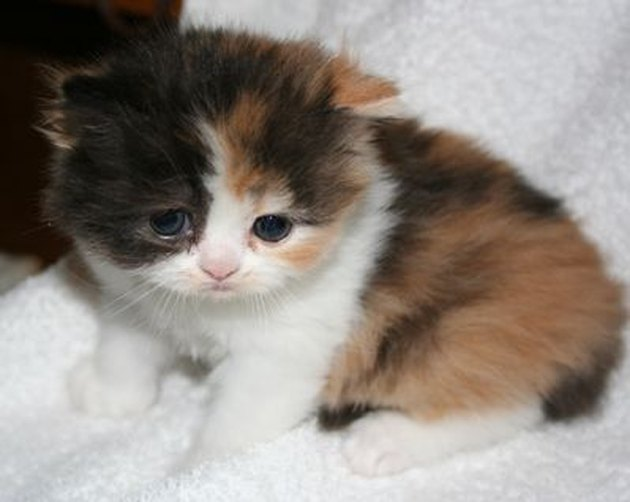 Calico kitten looking sad