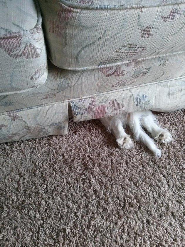 Little dog hiding under couch
