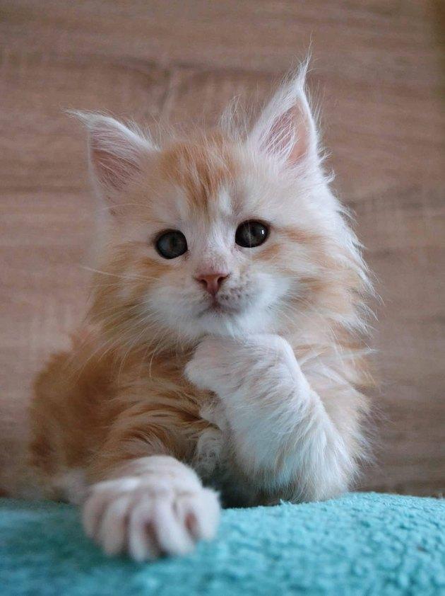 Maine Coon kitten looking contemplative