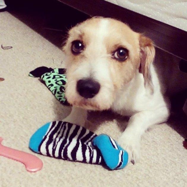 Dog stealing socks