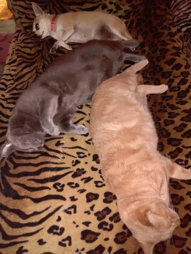 Two cats and a dog asleep! Together!