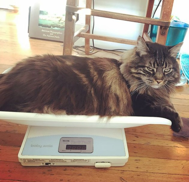 You gotta be creative if you want to weigh an animal on a digital scale