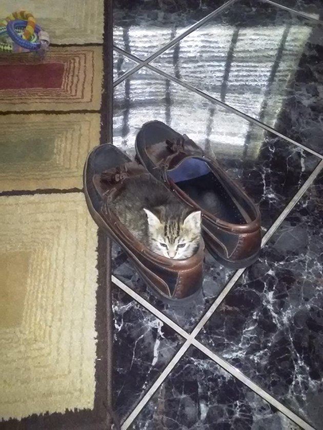 Kitten in loafers