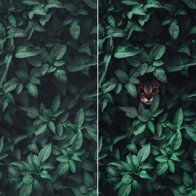 cat peeks out of shrub