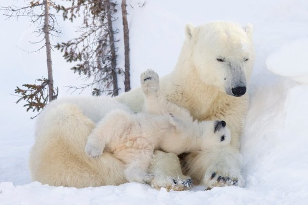 Polar bear cub lying on adult polar bear's arms.