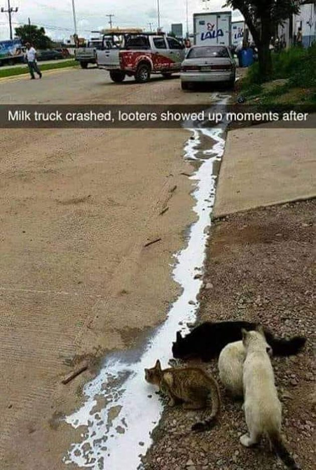 Cats drinking spilled milk from a milk truck