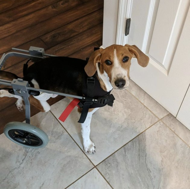 Lieutenant Dan the two-legged dog walks in his wheelchair