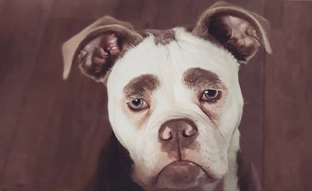 There's more to this grumpy looking bulldog than meets the eye(brows)