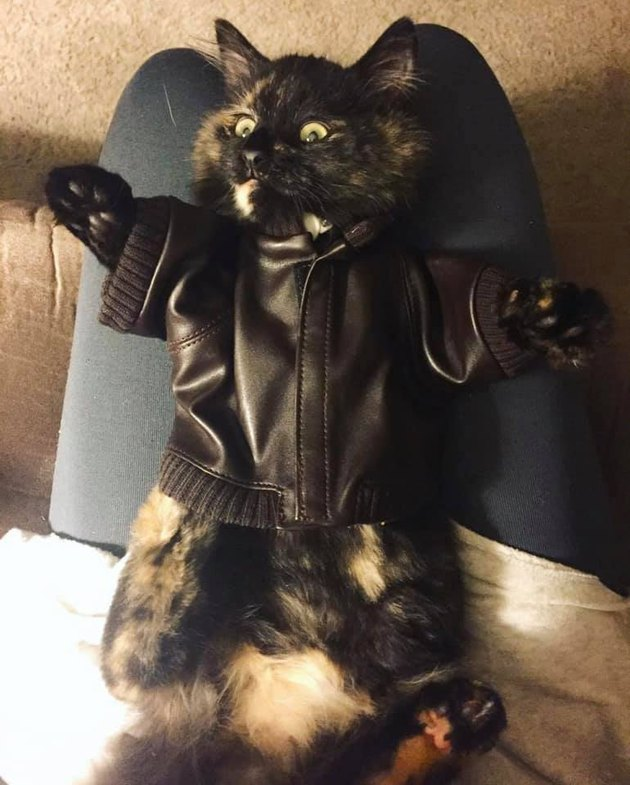 tortoiseshell cat in small leather jacket