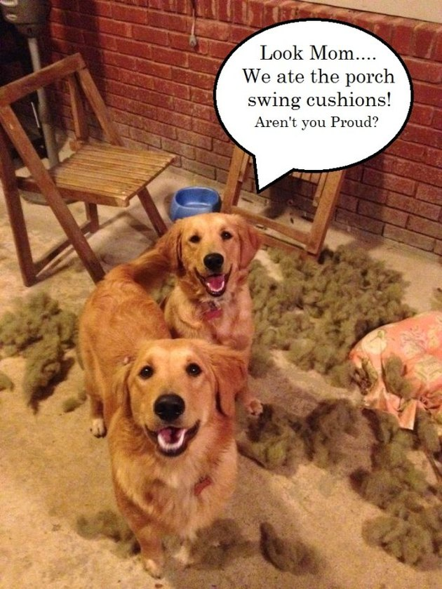 "Golden retrievers surrounded by pillow stuffing with a speech bubble that says ""Look Mom... We ate the porch swing cushions! Aren't you proud?"""